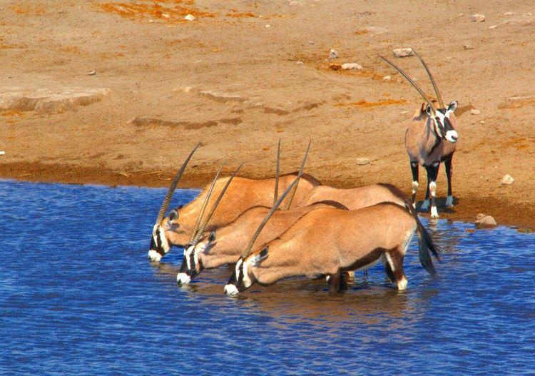 非洲羚羊擔任警戒保護同伴